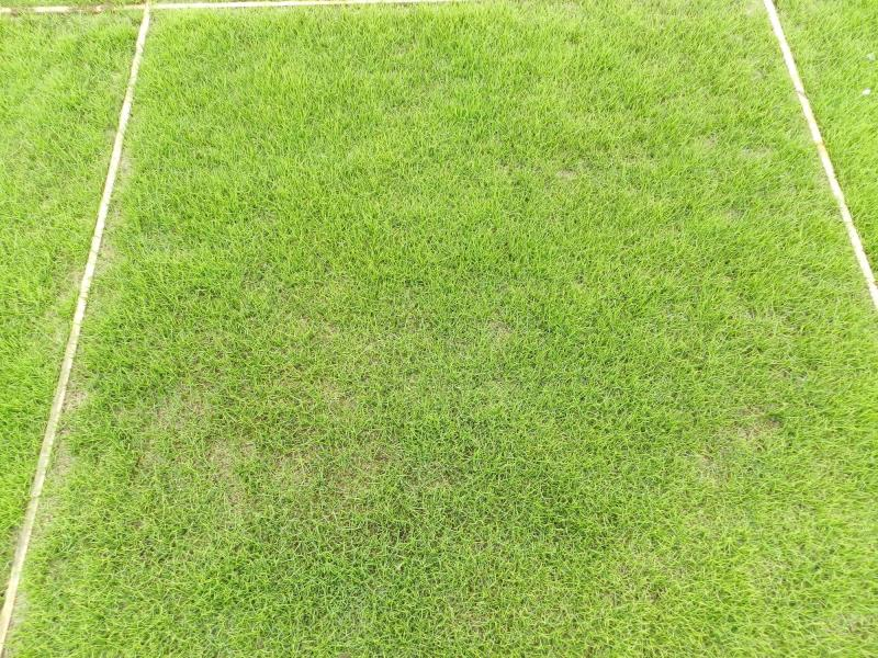 The growth of natural grass in the sand based medium mix of sand and Geofill PG, with the second-generation artificial grass for PowerGrass